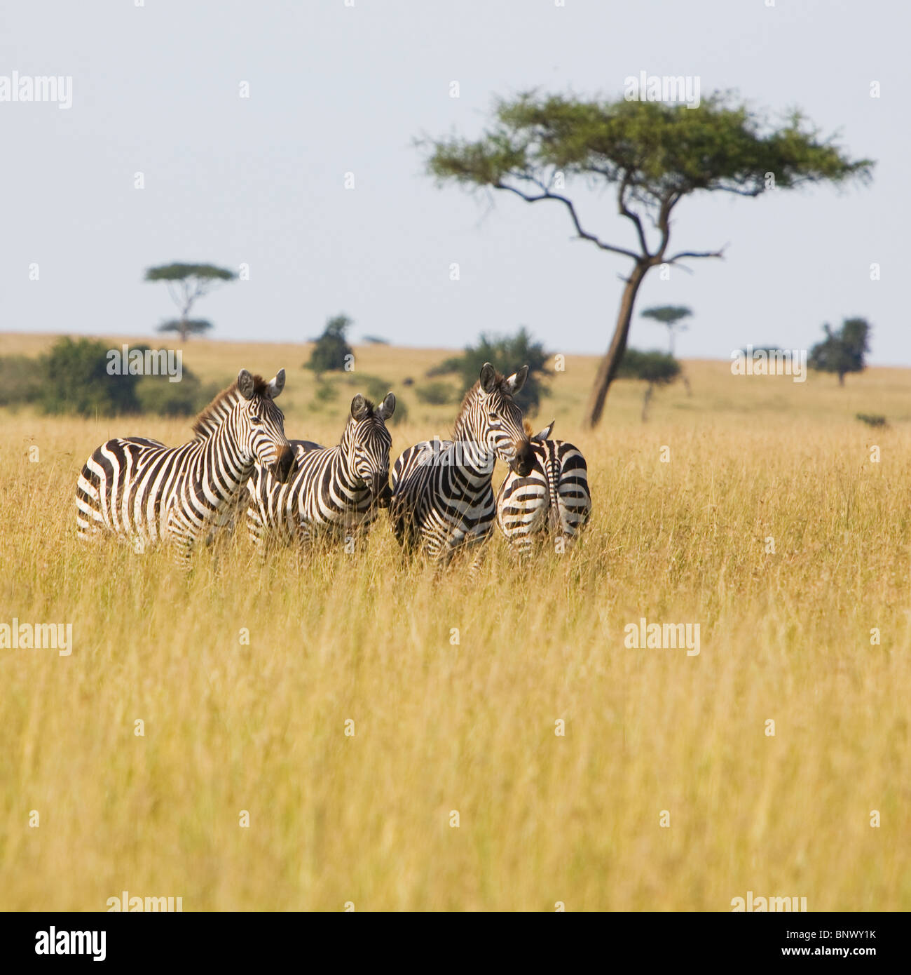 Zebra in the Masai Mara Kenya - Stock Image