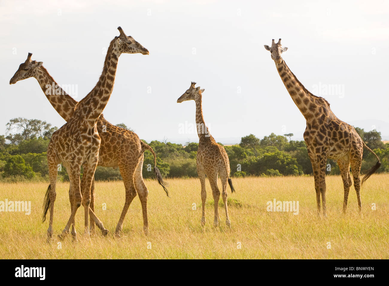 Giraffe in the Masai Mara Kenya - Stock Image