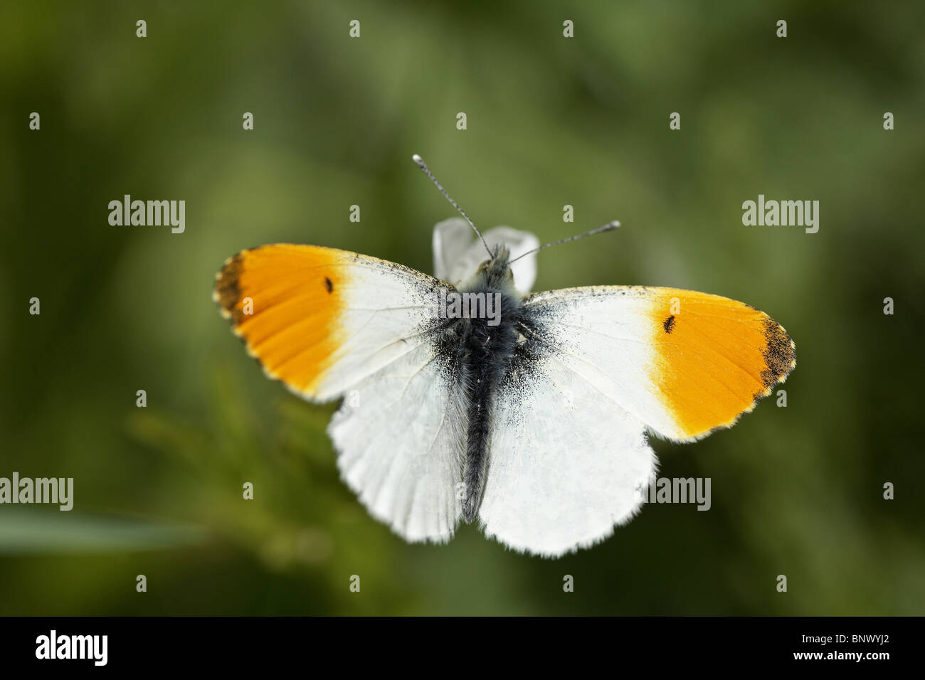 Orange-tip, Anthocharis cardamines butterfly Stock Photo