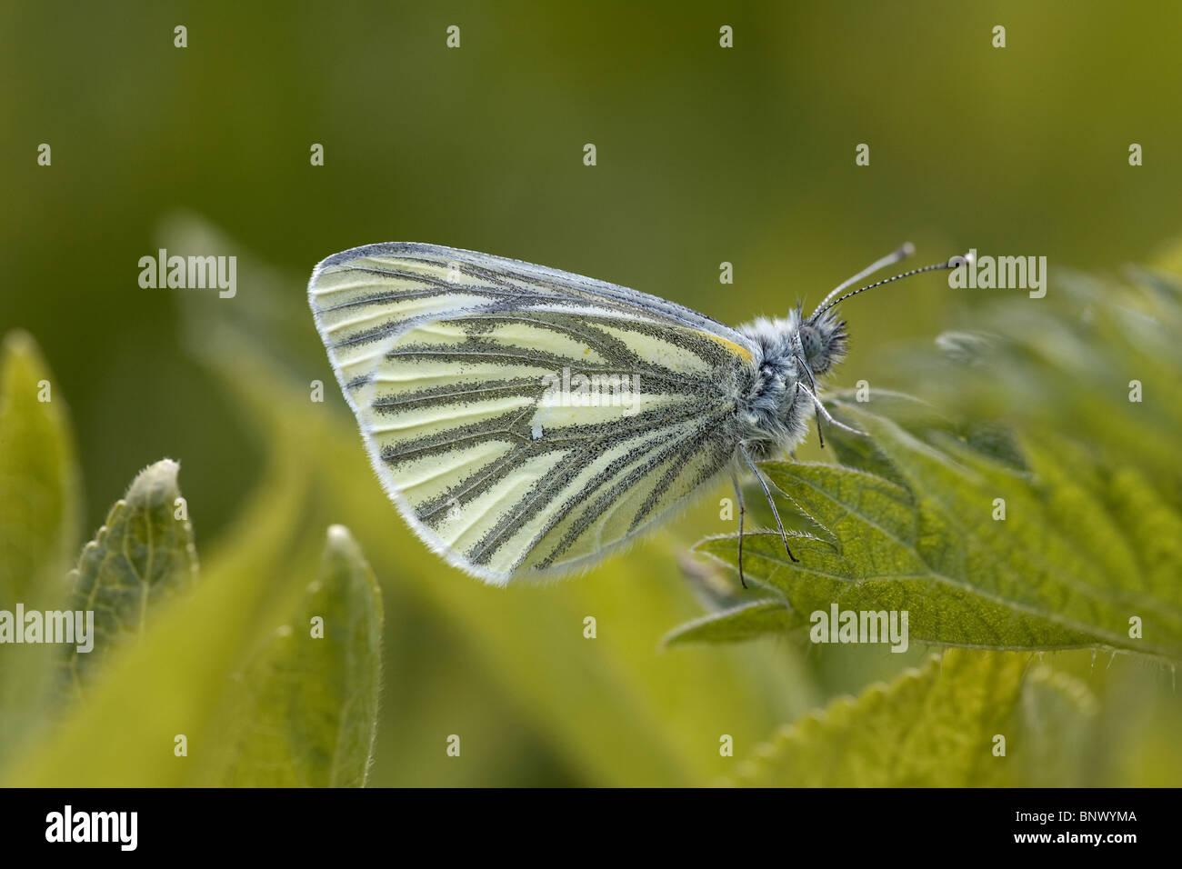 Green-veined White, Pieris napi butterfly, uk - Stock Image