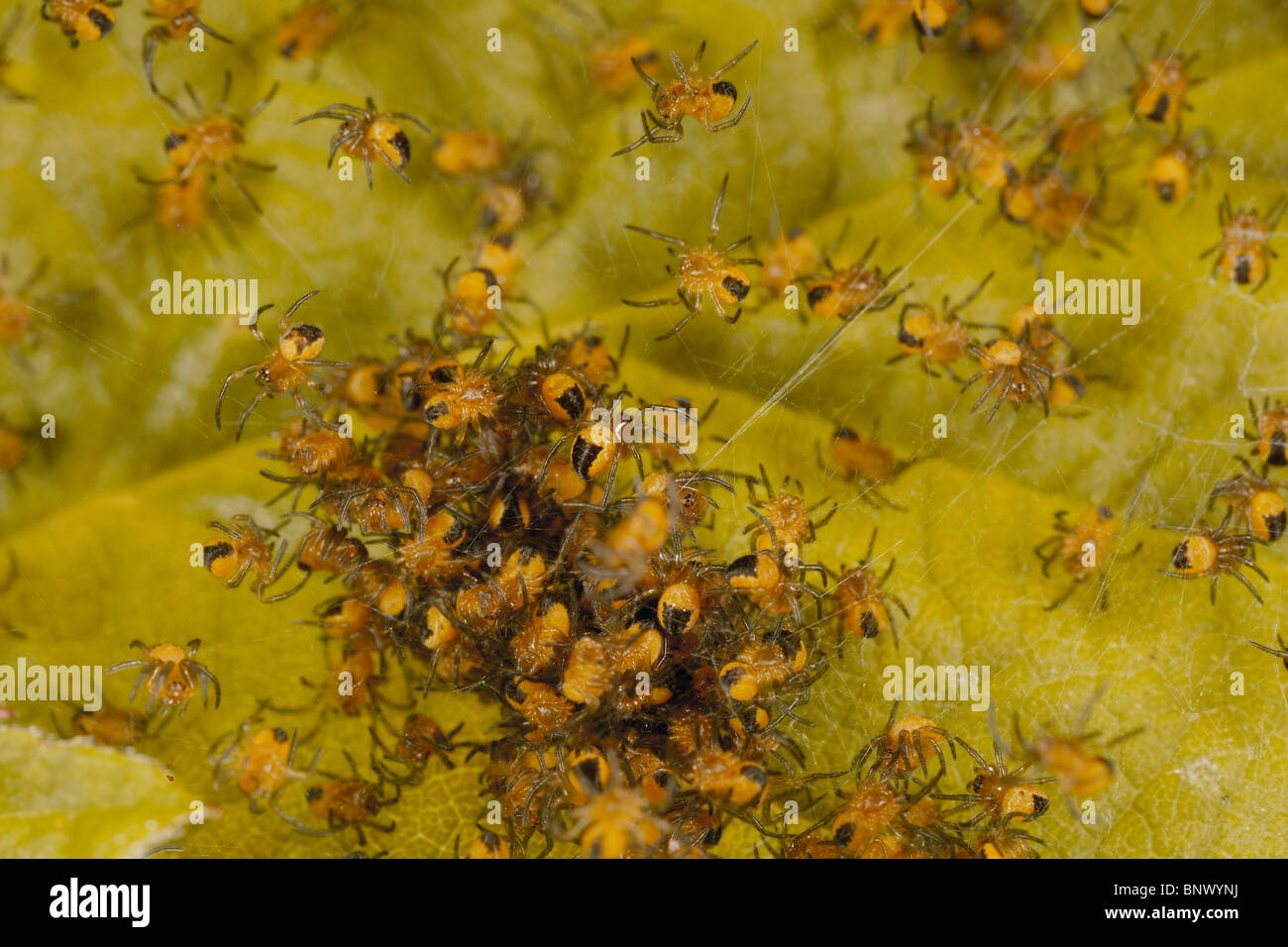 Young spiderlings of common garden spider, Araneus diadematus group together and spread out when threatened or disturbed. - Stock Image