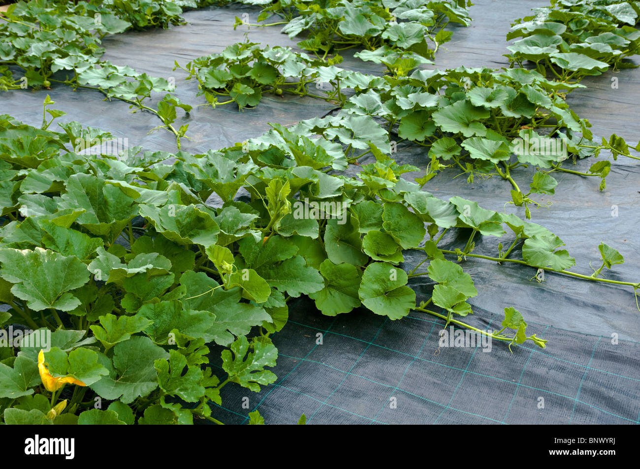 Courgettes growing - note the weed suppressant covering on the ground and through which the courgettes are grown. - Stock Image