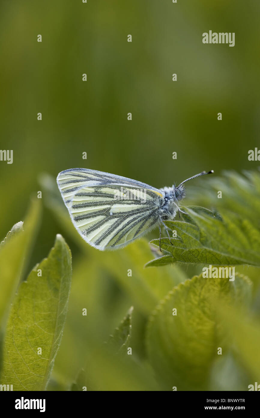 Green-veined White, Pieris napi butterfly - Stock Image