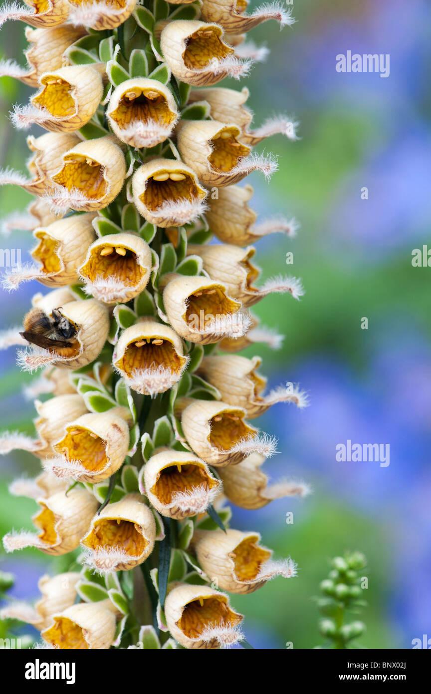 Digitalis ferruginea. Rusty foxglove - Stock Image