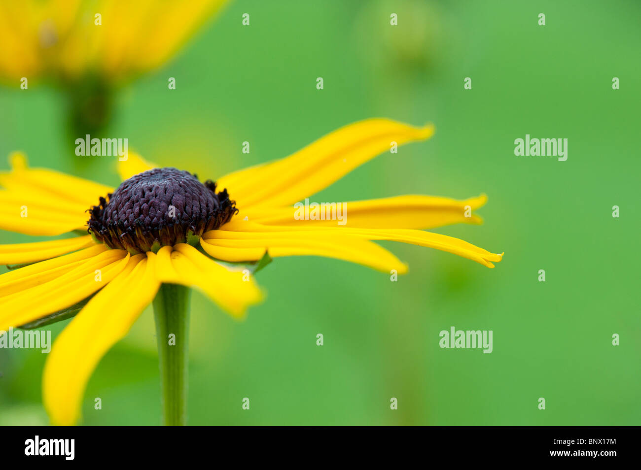 Rudbeckia fulgida var sullivantii 'Goldsturm'. Black Eyed Susan flower Stock Photo