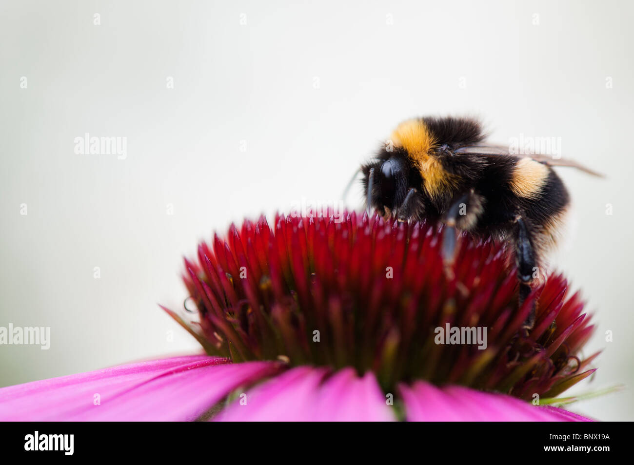 Bumble bee, bombus lucorum, feeding on an echinacea purpurea flower against a white background - Stock Image