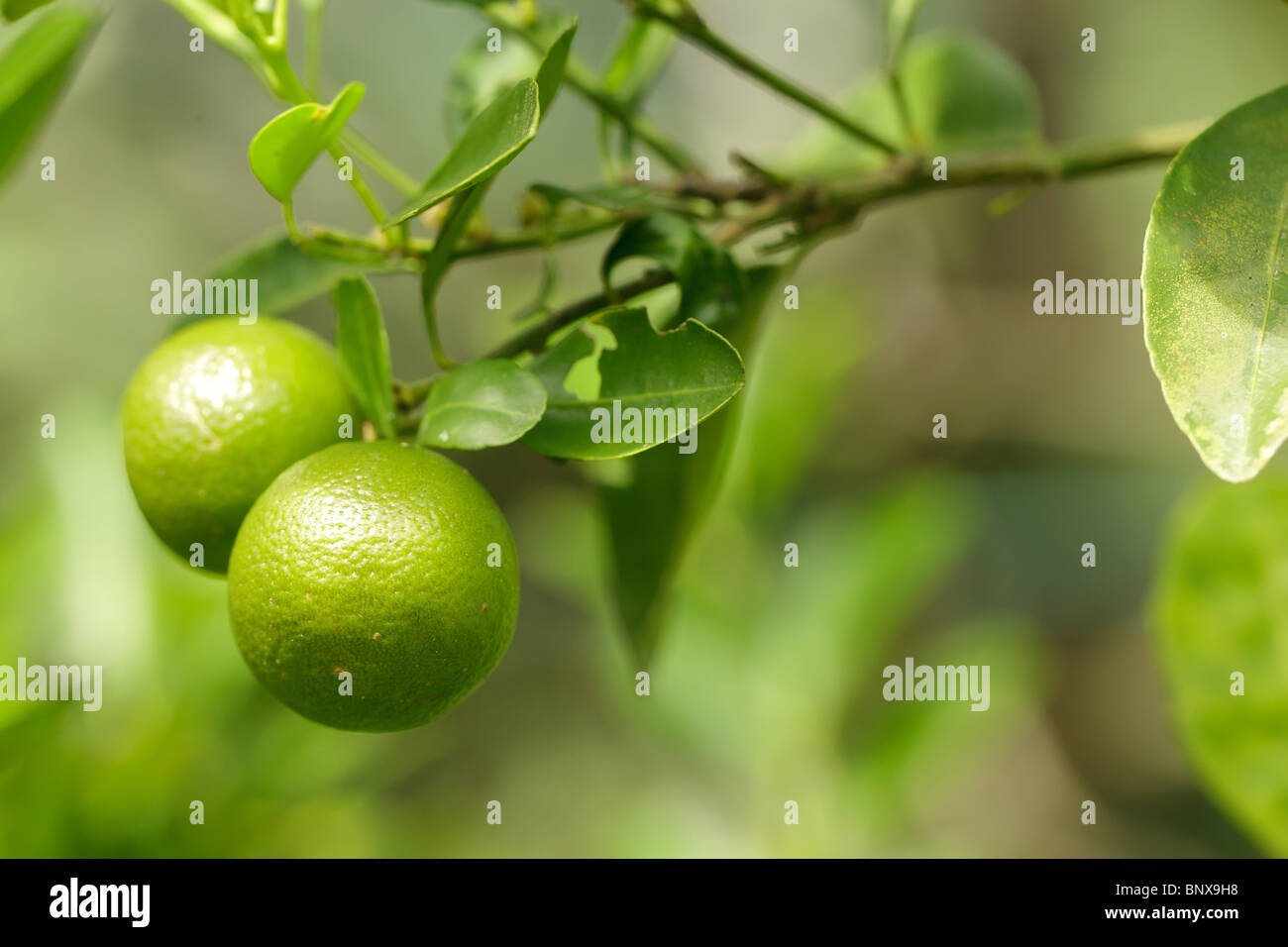 fresh green oranges on tree in malaysian orchard Stock Photo
