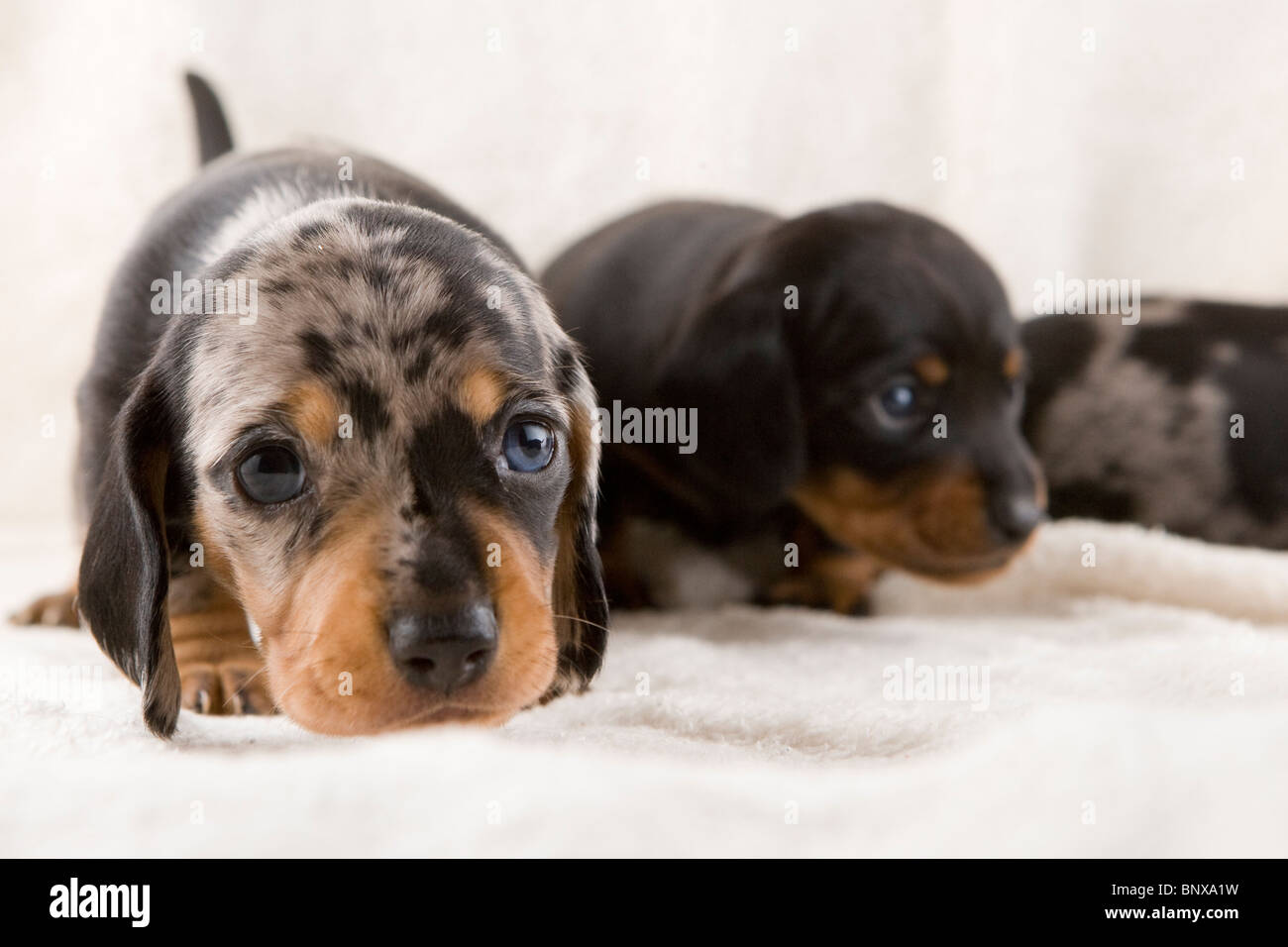 Two week old litter of dapple Dachshund puppies. - Stock Image