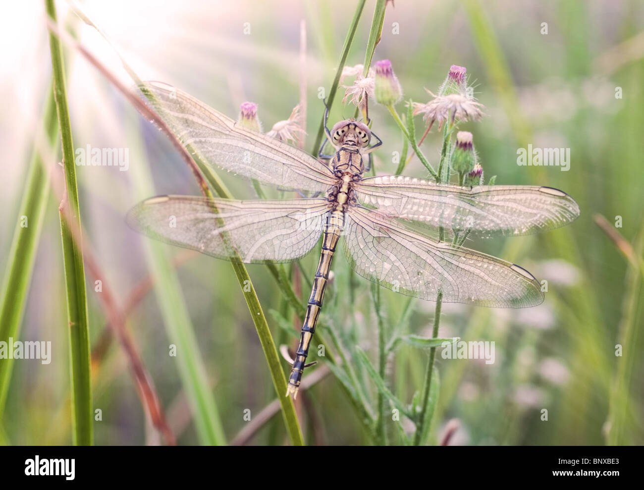 newly hatched dragonfly waits for the sun to warm its wings - Stock Image