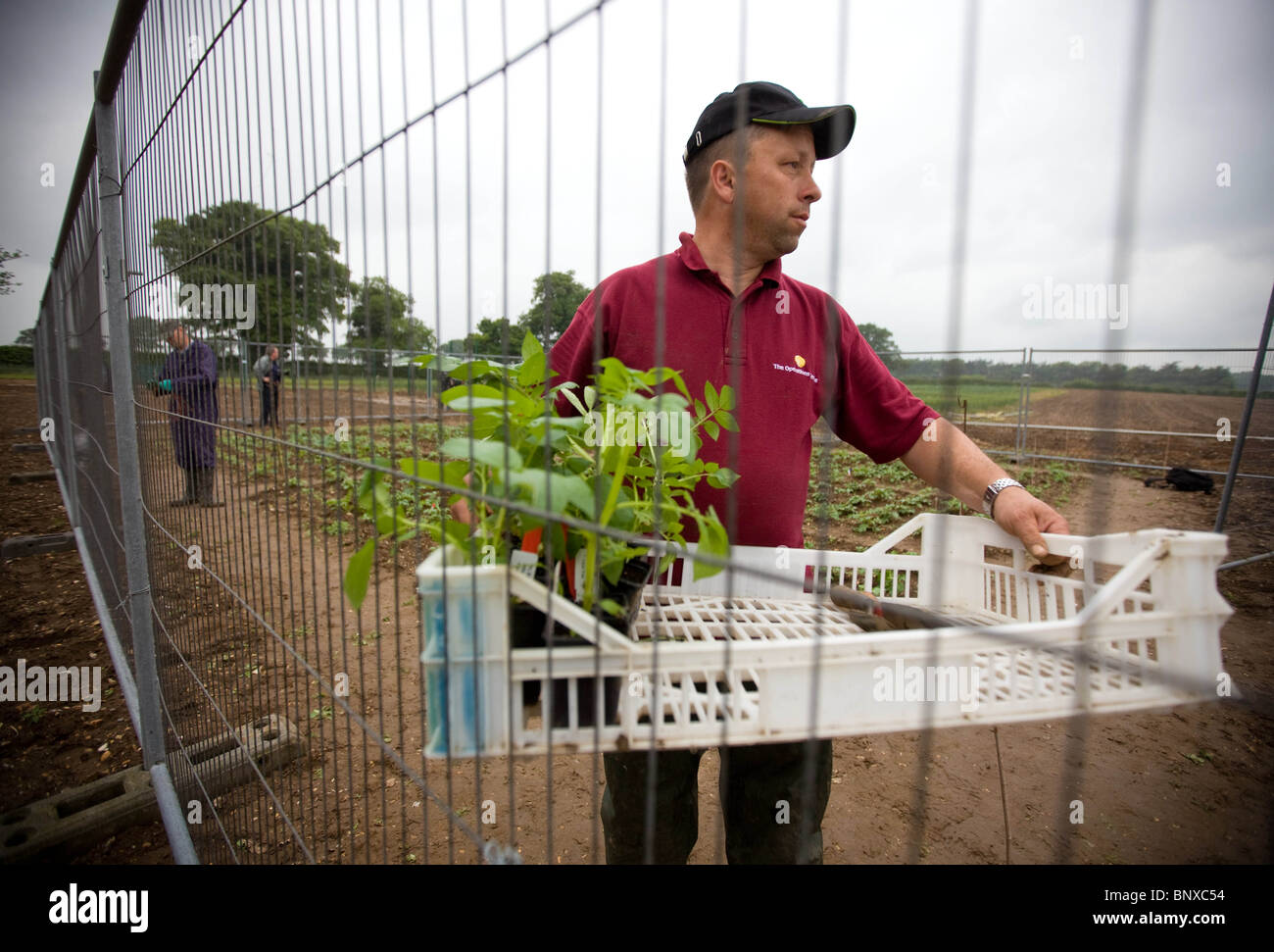 Planting Genetically Modified Potatoes in Norfolk,England - Stock Image