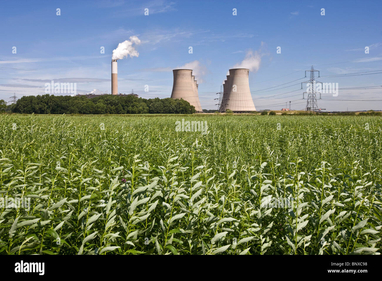 Willow being grown for use as fuel with Cottam Power Station In The Background,Nottinghamshire,England - Stock Image