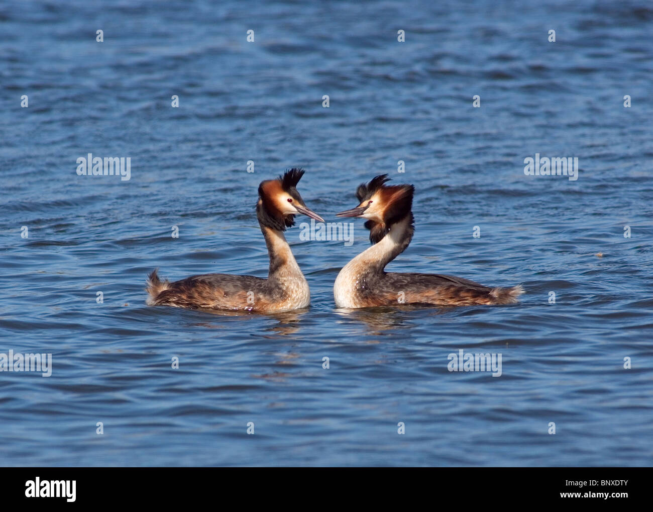 Great crested Grebes  Podiceps cristatus performing courtship dance, photographed at  Marton Mere nature reserve Stock Photo