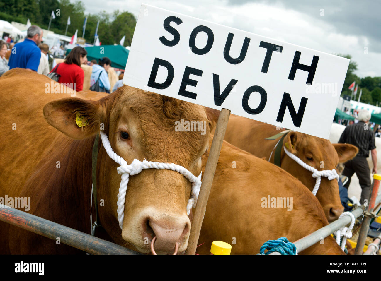 South Devon Cattle at a country show in Mid Devon - Stock Image