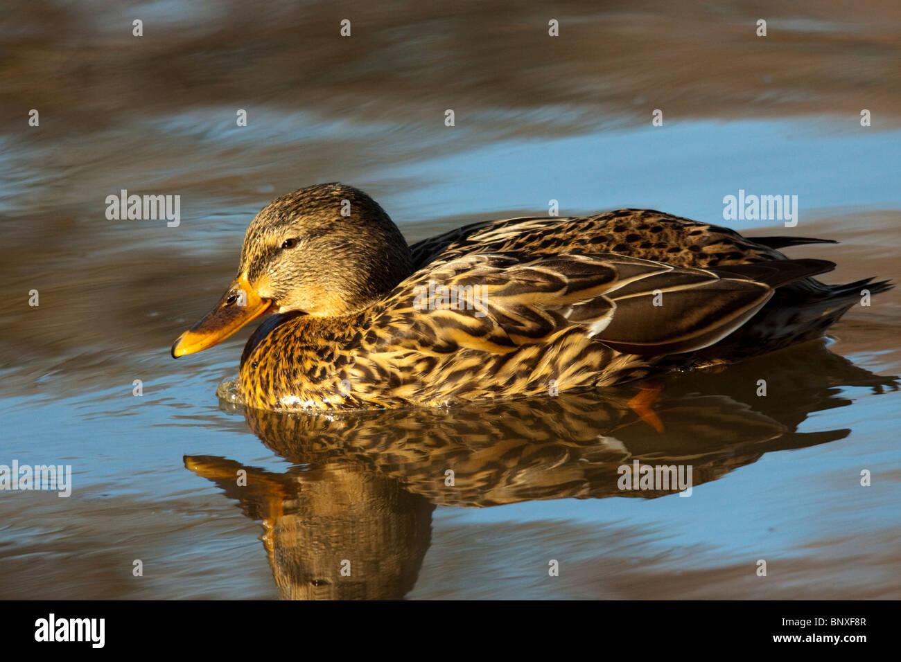 Female mallard duck, Anas platyrhynchos, floating on water - Stock Image