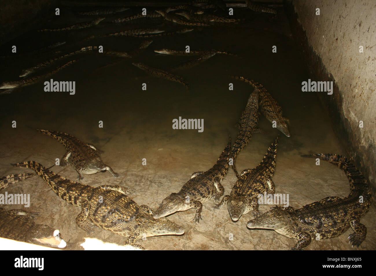 Nile crocodiles at a crocodile farm in Uganda - Stock Image