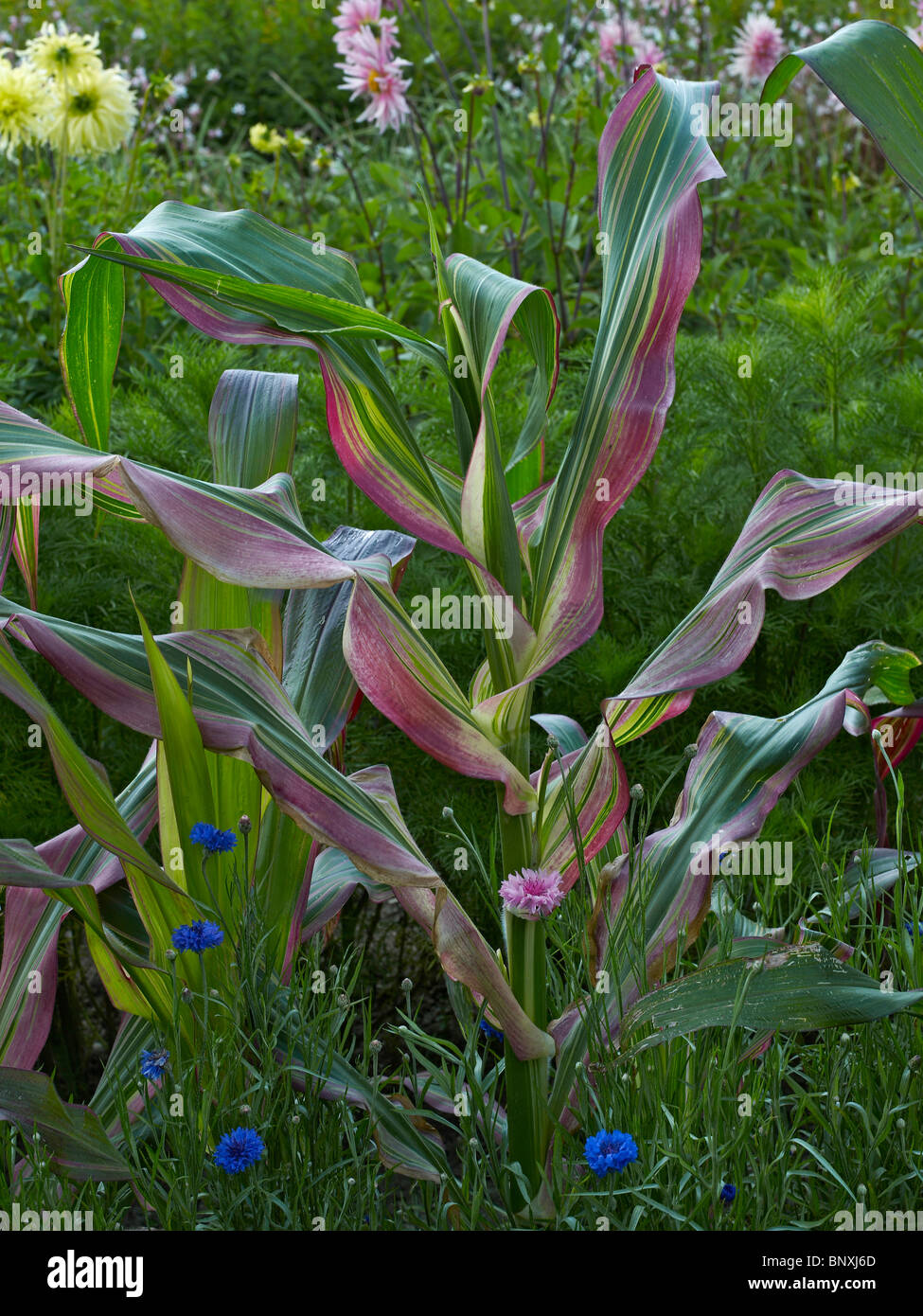 A close up details of Ornamental Zea Mays in the Flower Garden at Bouges - Stock Image