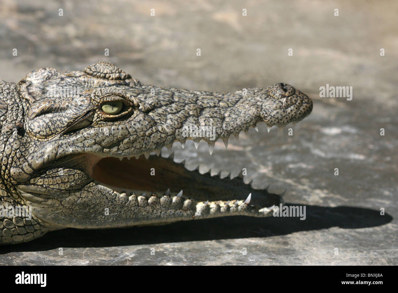 Nile crocodile at a crocodile farm in Uganda - Stock Image