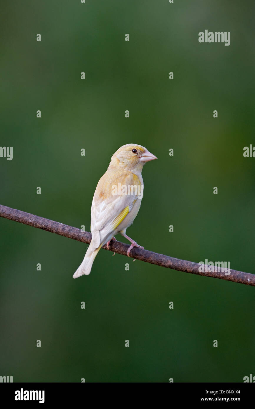 Green Finch Carduelis chloris abnormal variation - Stock Image
