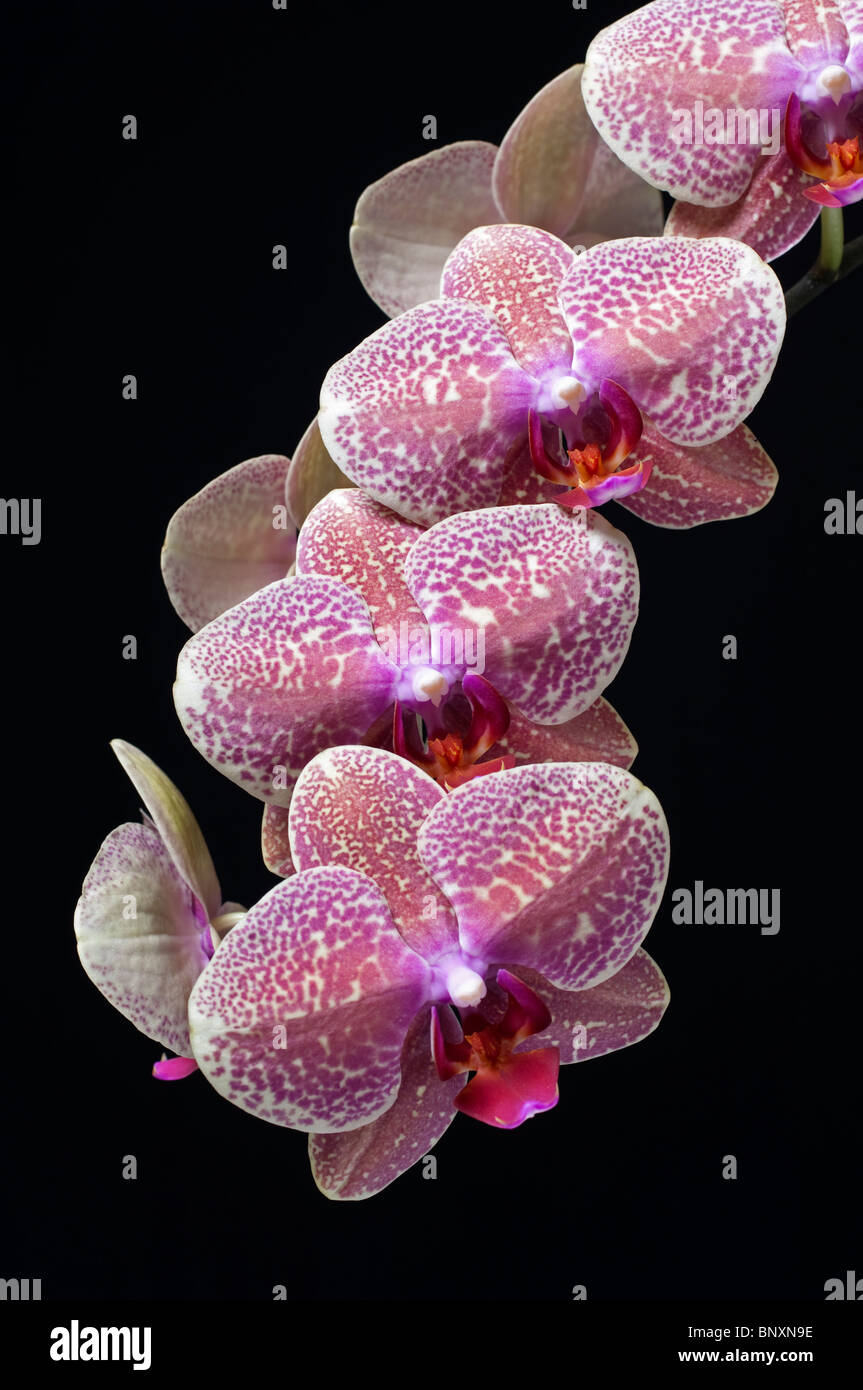 A pink or red orchid branch with many blooms on a black background - Stock Image