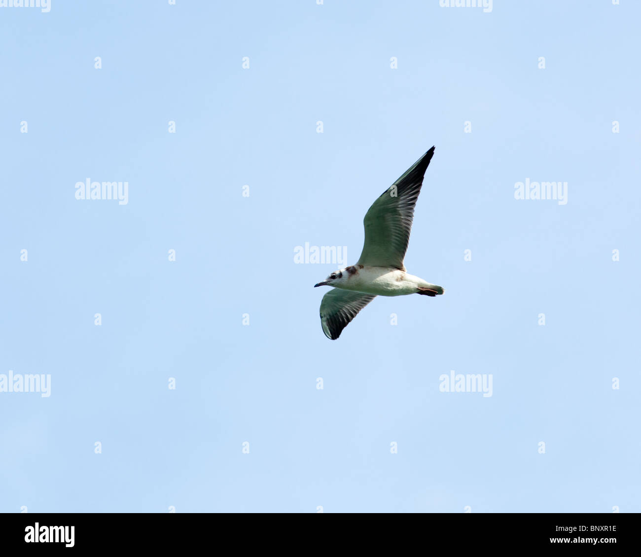 Black-headed, Larus ridibundus in the flying. - Stock Image