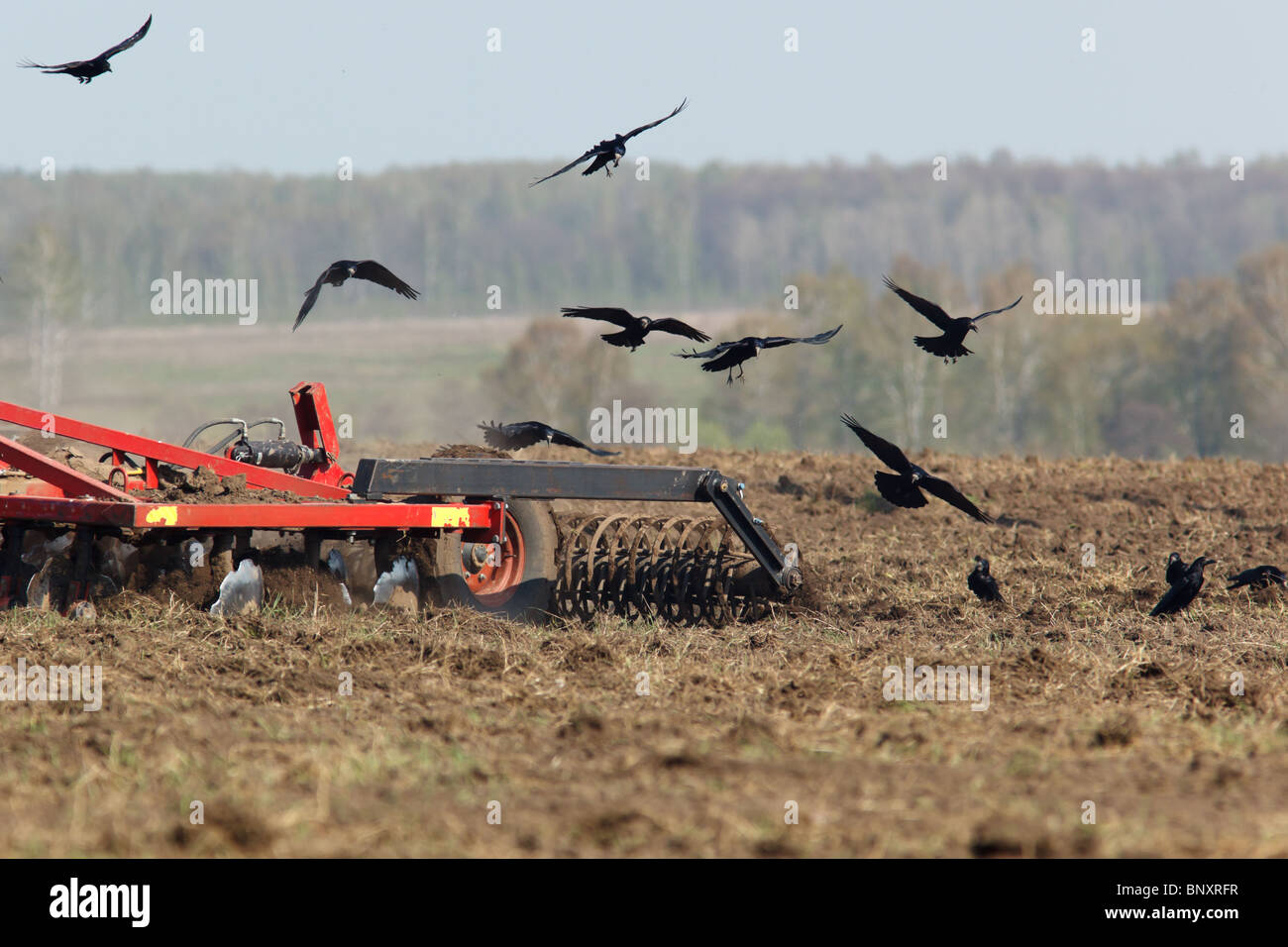 Rook, crow family, Corvus frugilegus on a ploughed field. - Stock Image