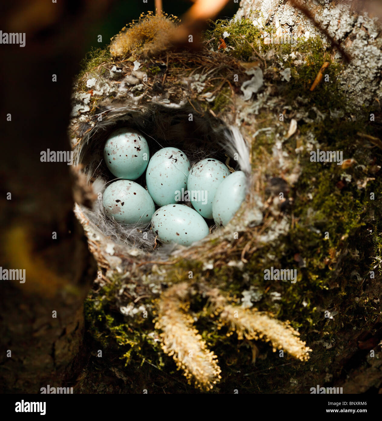 The nest of the common finch, Fringilla coelebs, with eggs. - Stock Image
