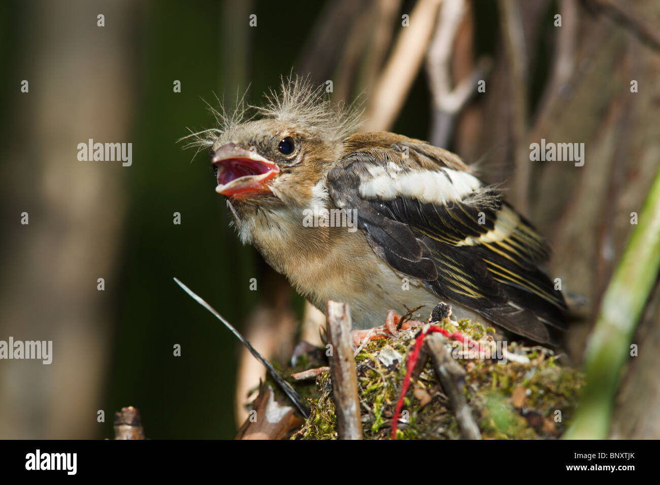 Зяблик, The chick of the common finch (Fringilla coelebs) in the nest. - Stock Image