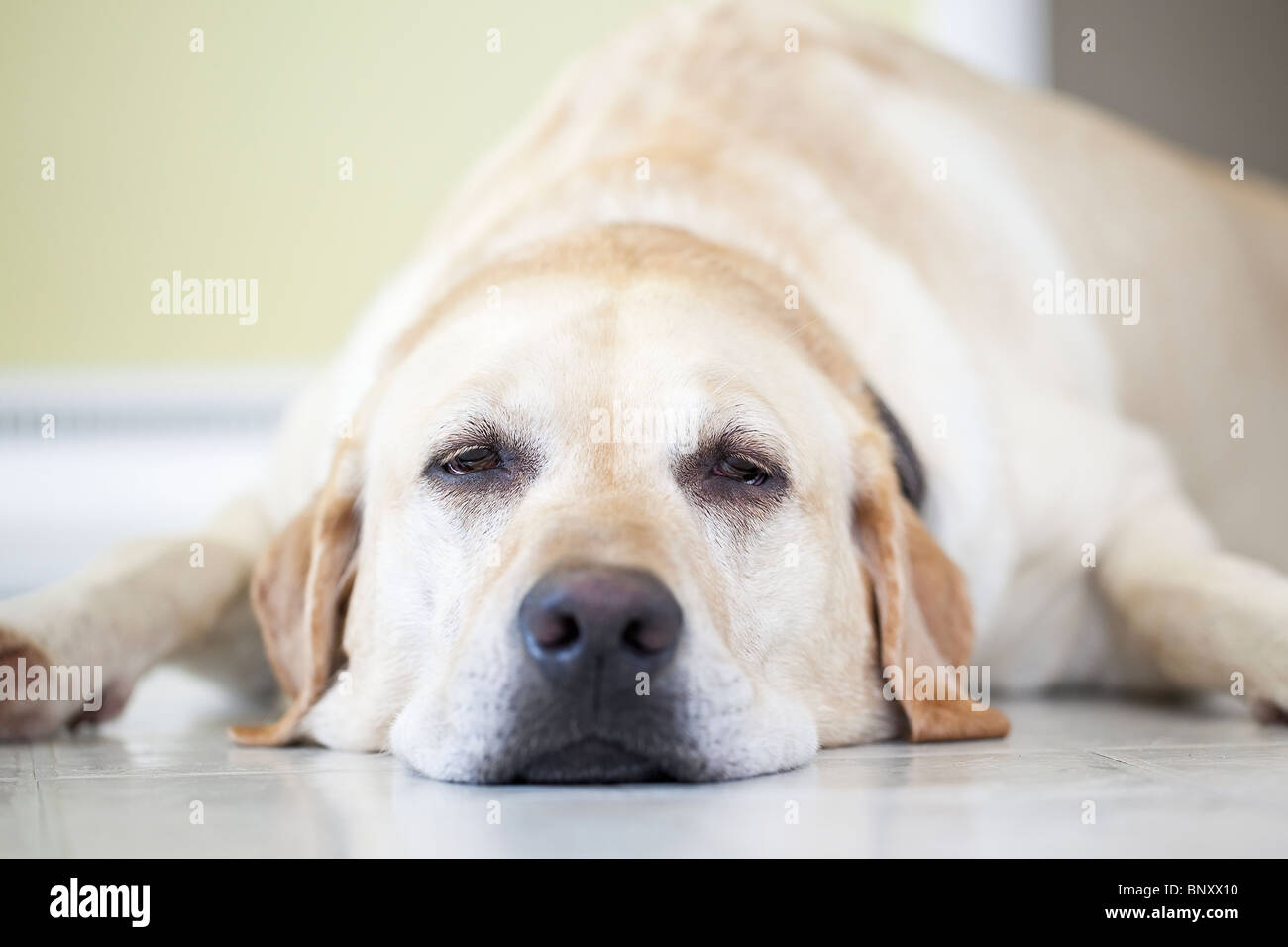 Close up view of a sleepy Yellow Labrador Retriever dog lying on floor.  Winnipeg, Manitoba, Canada. - Stock Image
