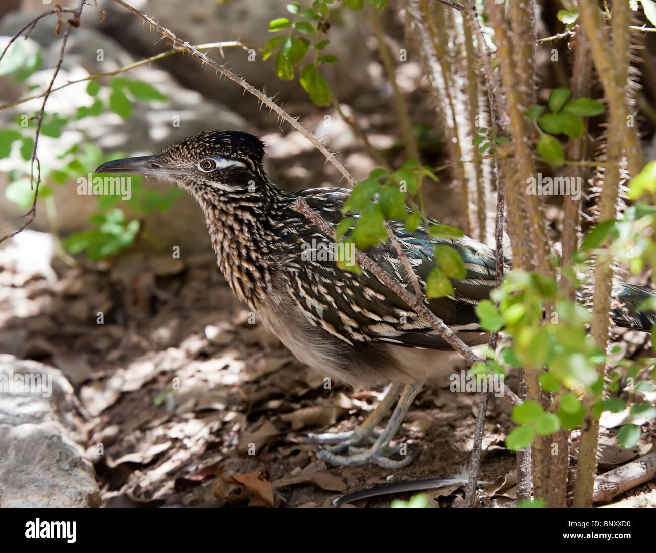 Greater Roadrunner Geococcyx californianus in undergrowth Texas USA - Stock Image