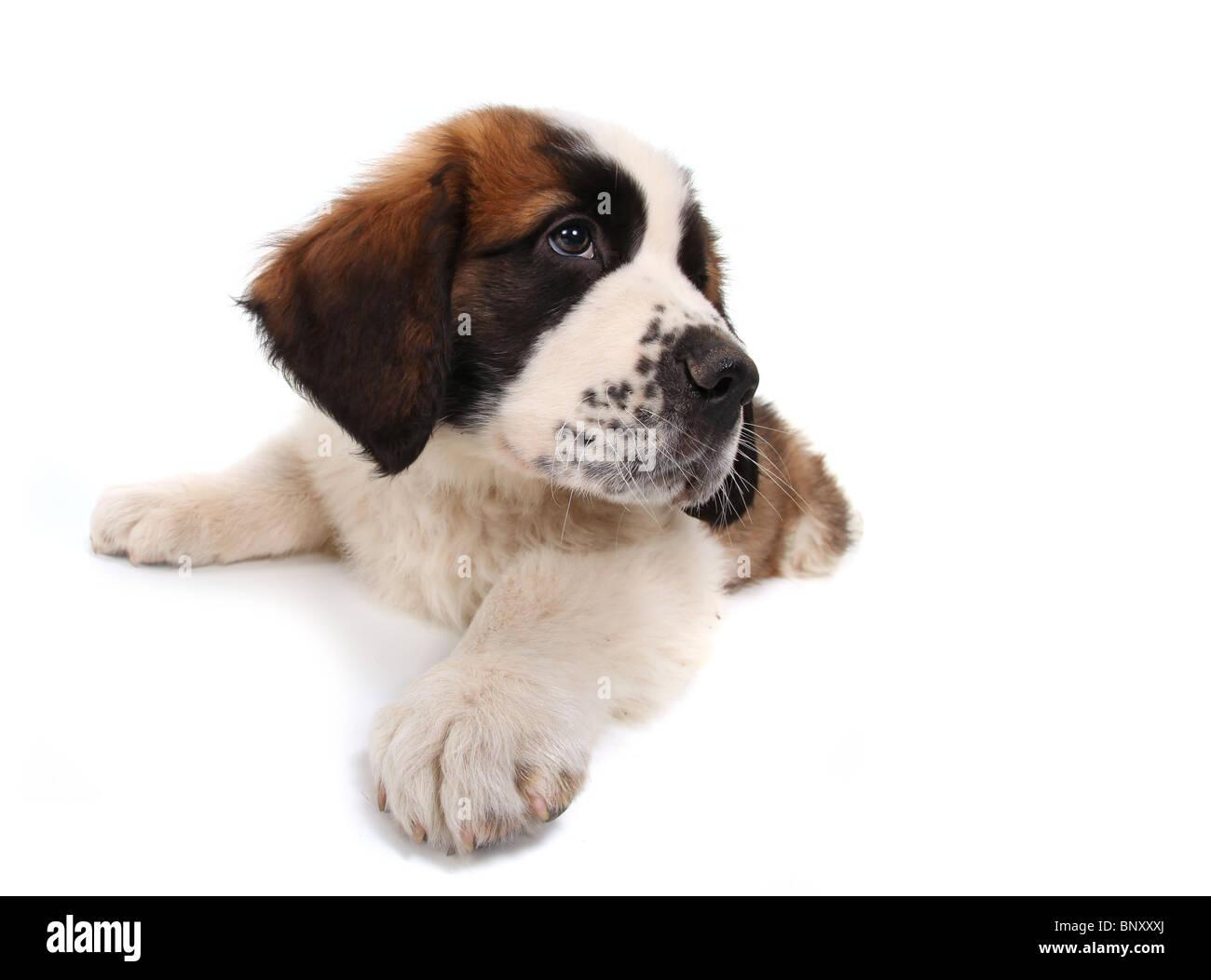 Sitting Saint Bernard Puppy Looking Sideways on White Background - Stock Image