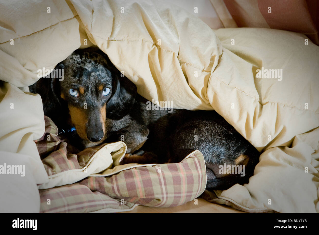 A Dapple Dachshund looking scolded. - Stock Image
