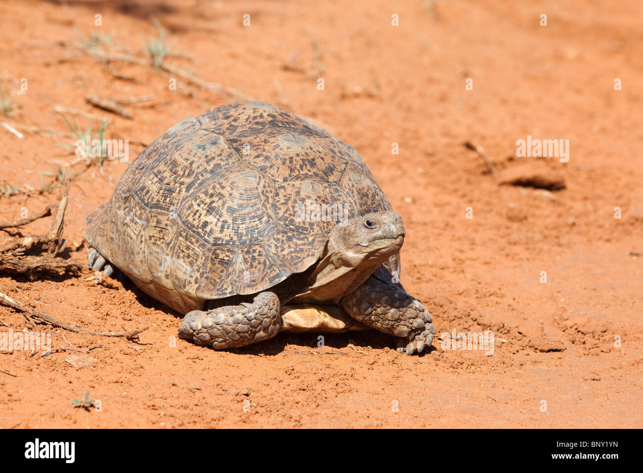 Leopard (Mountain) Tortoise, Geochelone pardalis, Kgalagadi transfrontier park, South Africa Stock Photo