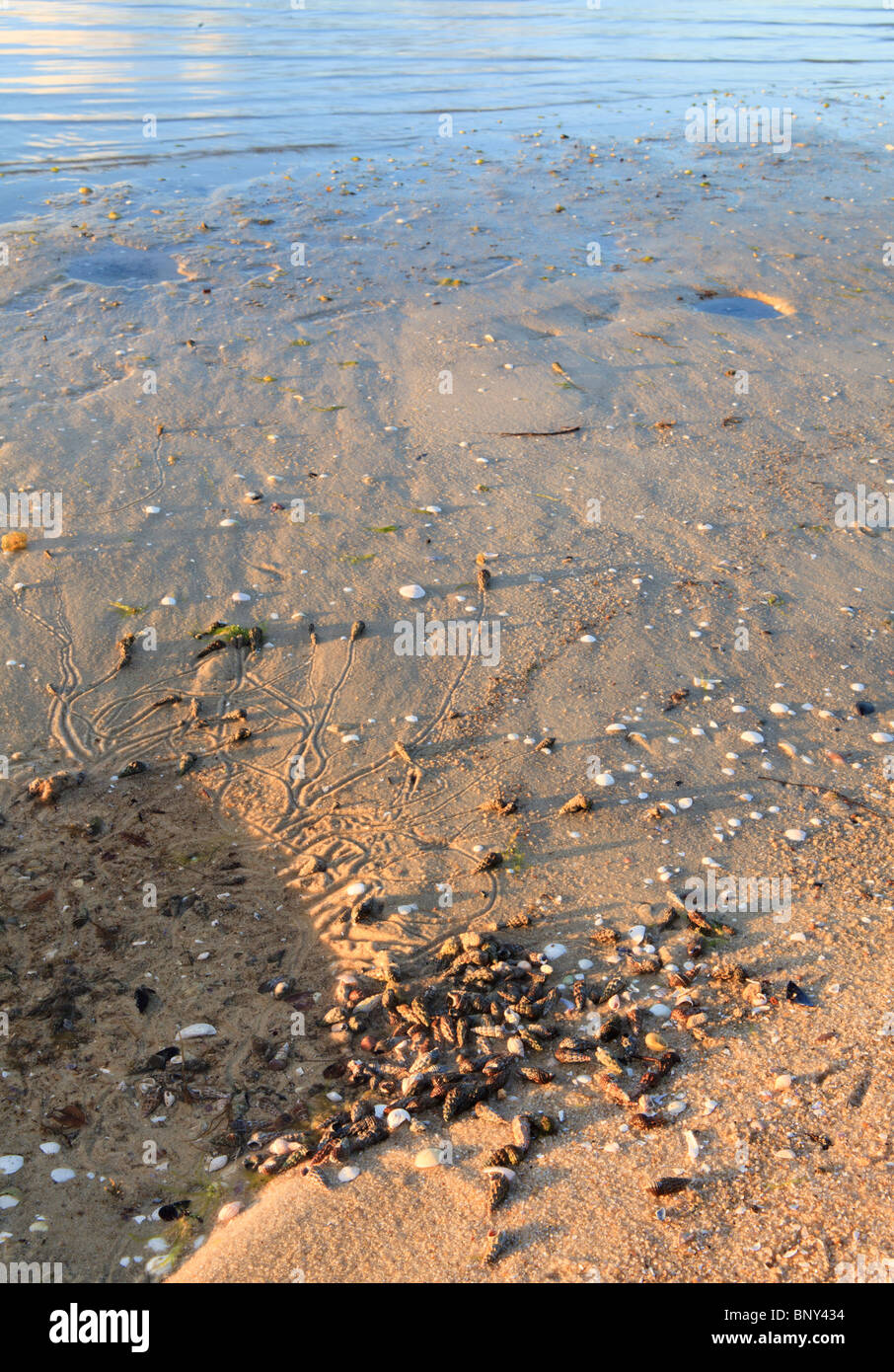 Hermit Crabs next to a pool of water. Several trails left by the crabs can be seen in the sand. - Stock Image