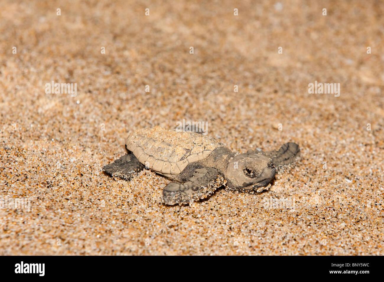 Loggerhead turtle hatchling, Caretta caretta, moving from nest to sea at night, Banga Nek, Kwazulu Natal, South - Stock Image