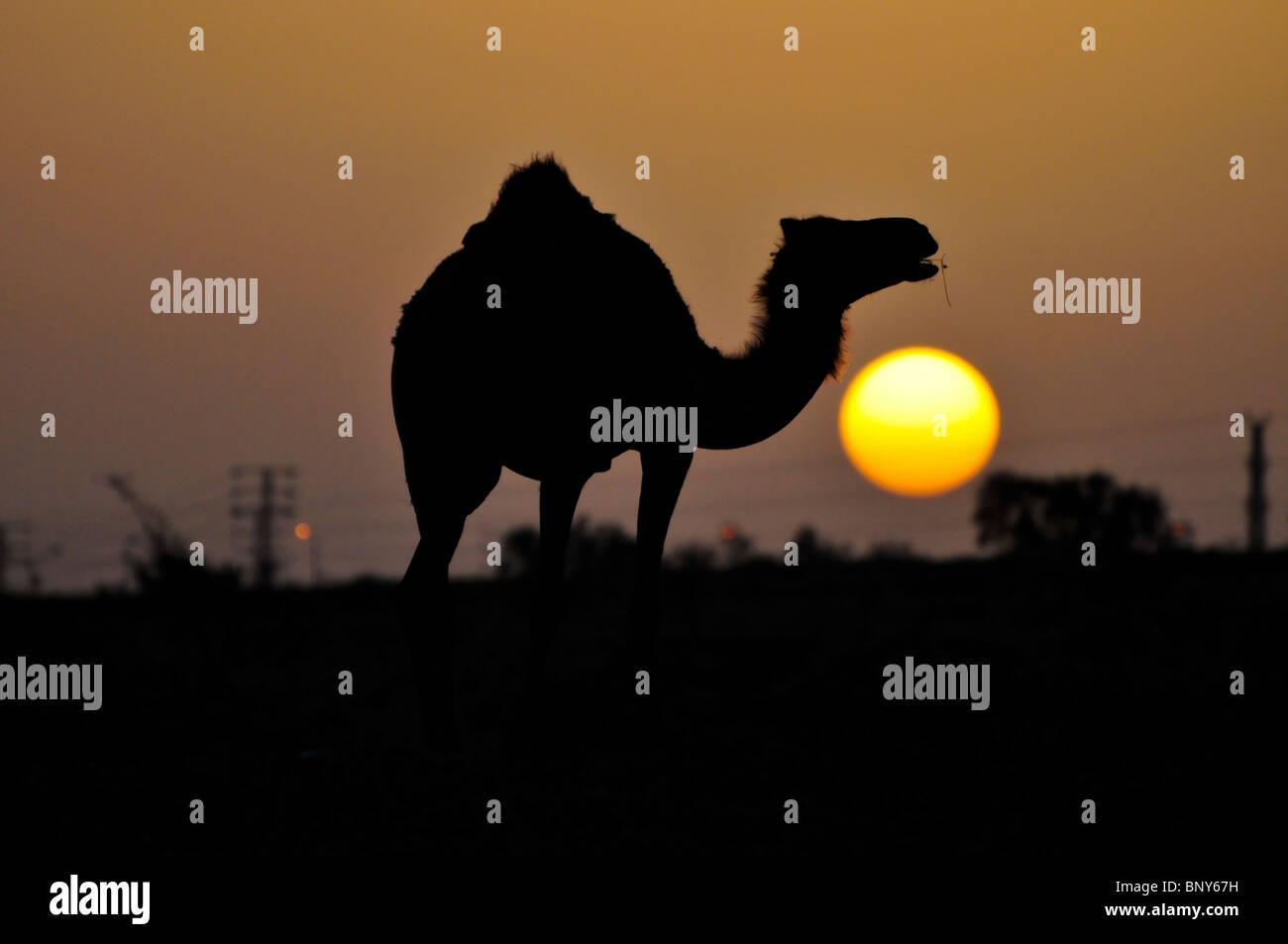 Israel, Negev Deset, silhouette of an Arabian camel (Camelus dromedarius) at subset Stock Photo