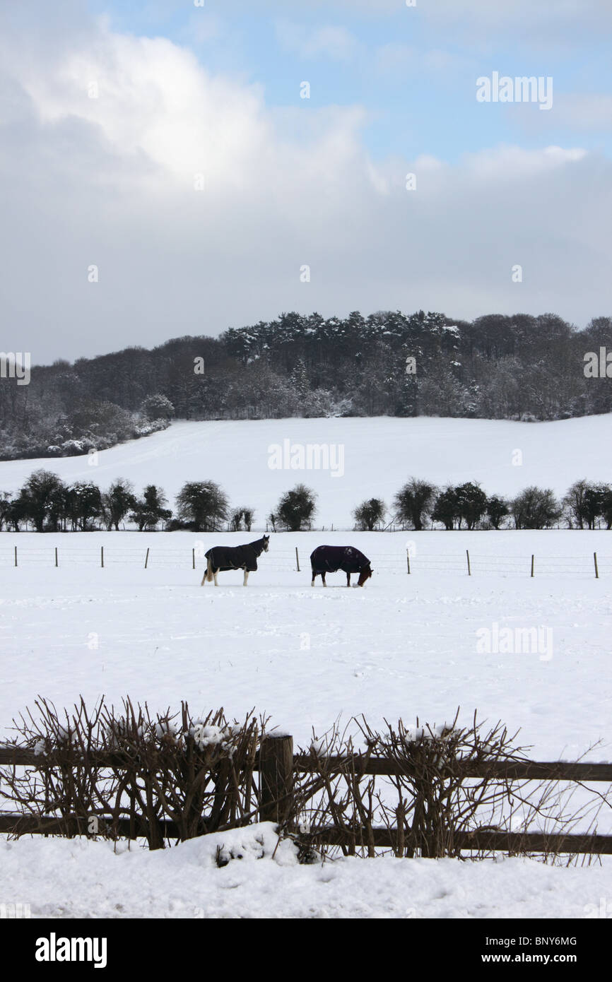 Horses in snow in field with Chiltern Hills behind at Mill End, Hambleden, Buckinghamshire, England, UK, winter - Stock Image