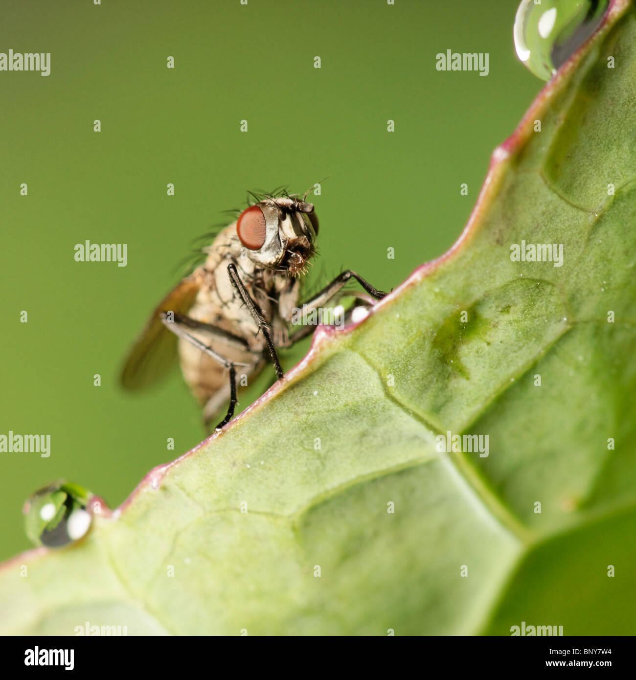 Fly on leaf edge. Diptera Stock Photo