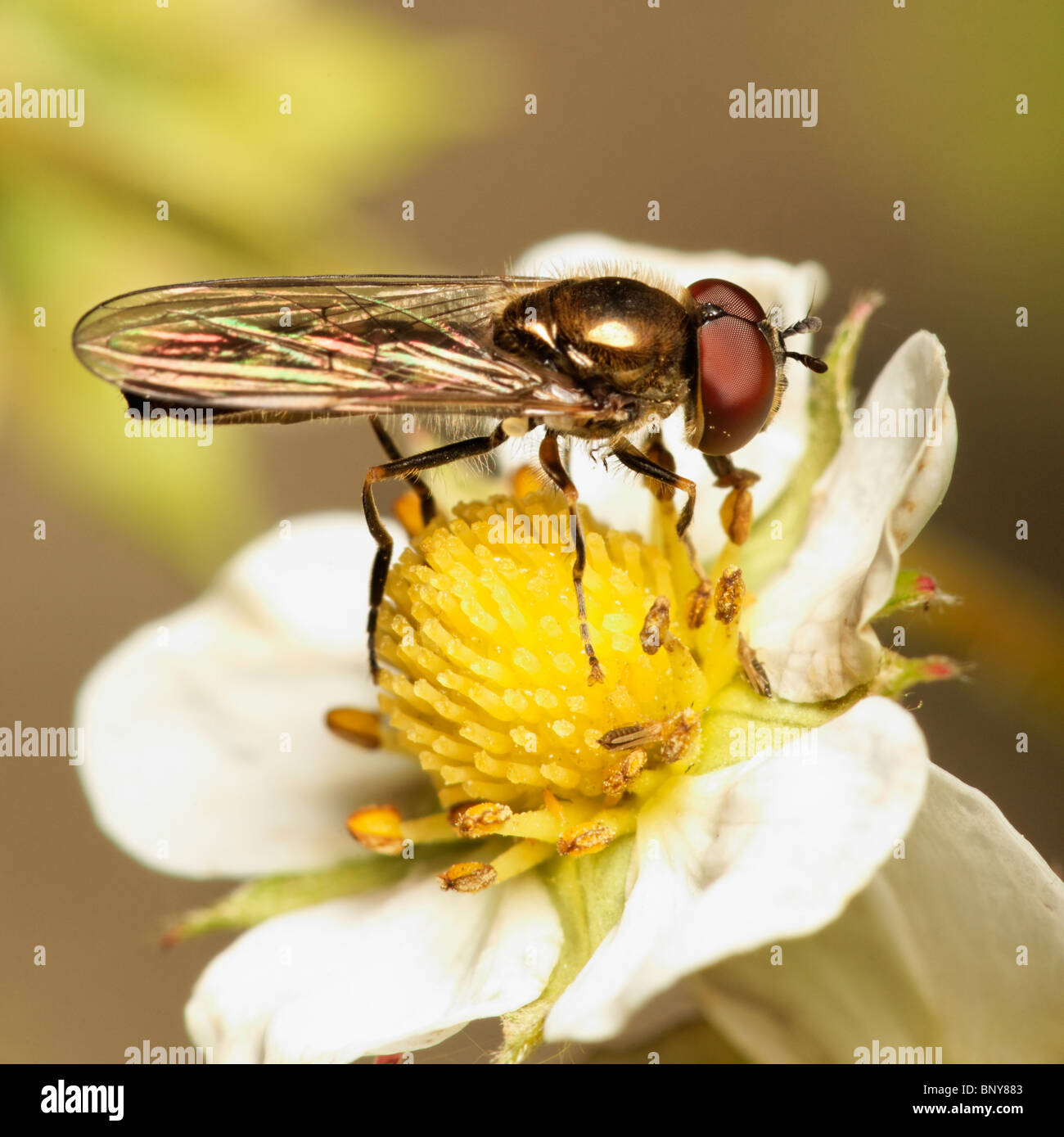 Male Hoverfly on strawberry flower. Diptera Syrphidae Stock Photo
