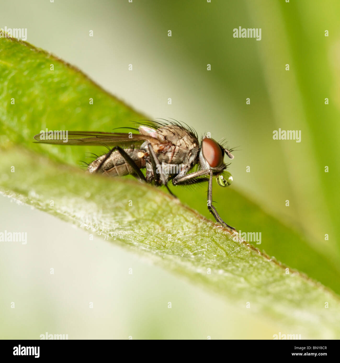 Fly on leaf blowing a bubble. Diptera. Stock Photo