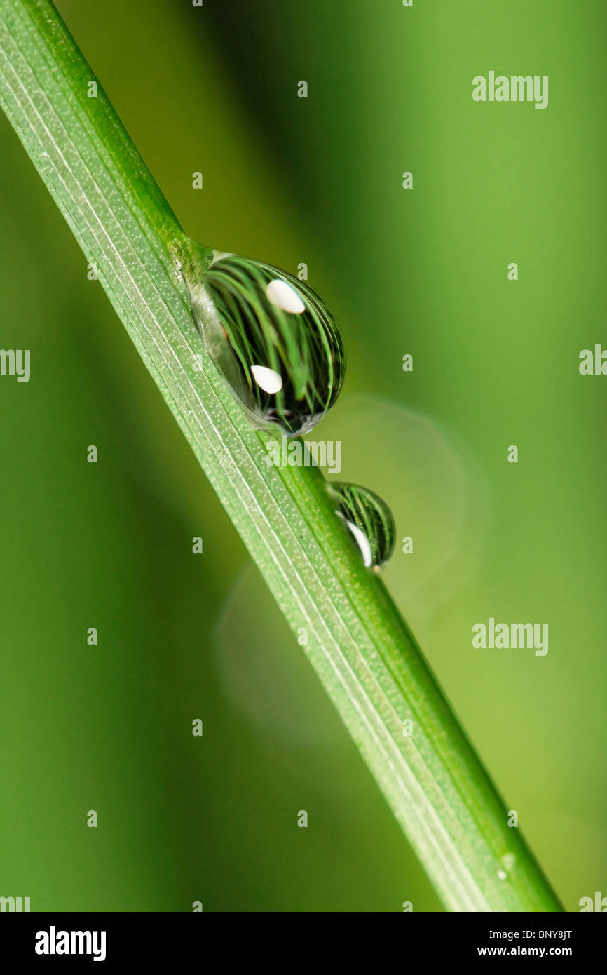 Water droplets on chives. - Stock Image