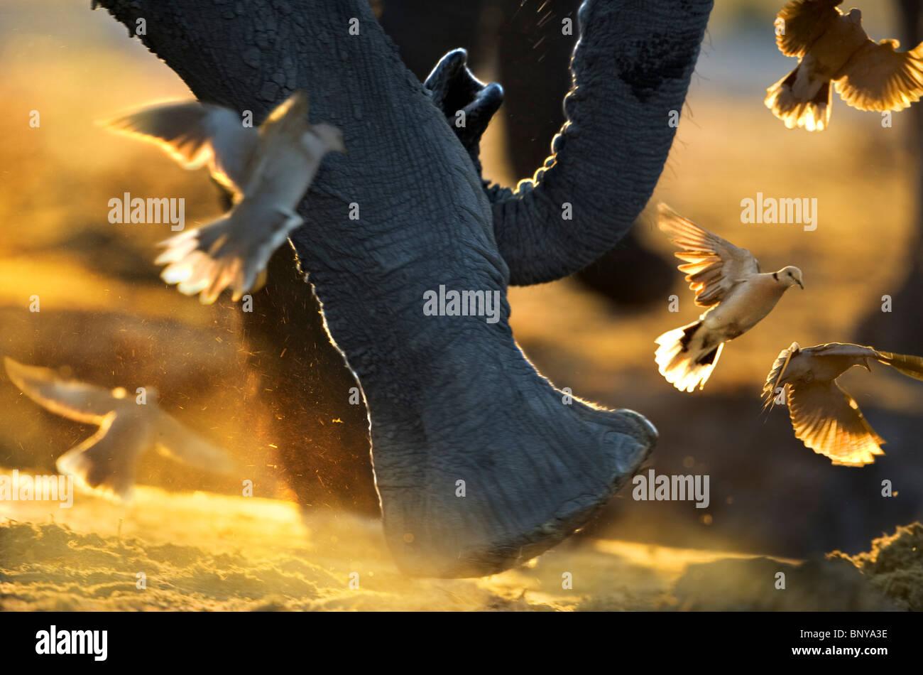 Close up of elephant 's  feet disturbing Cape Turtle Doves. Savuti ,Botswana. Stock Photo