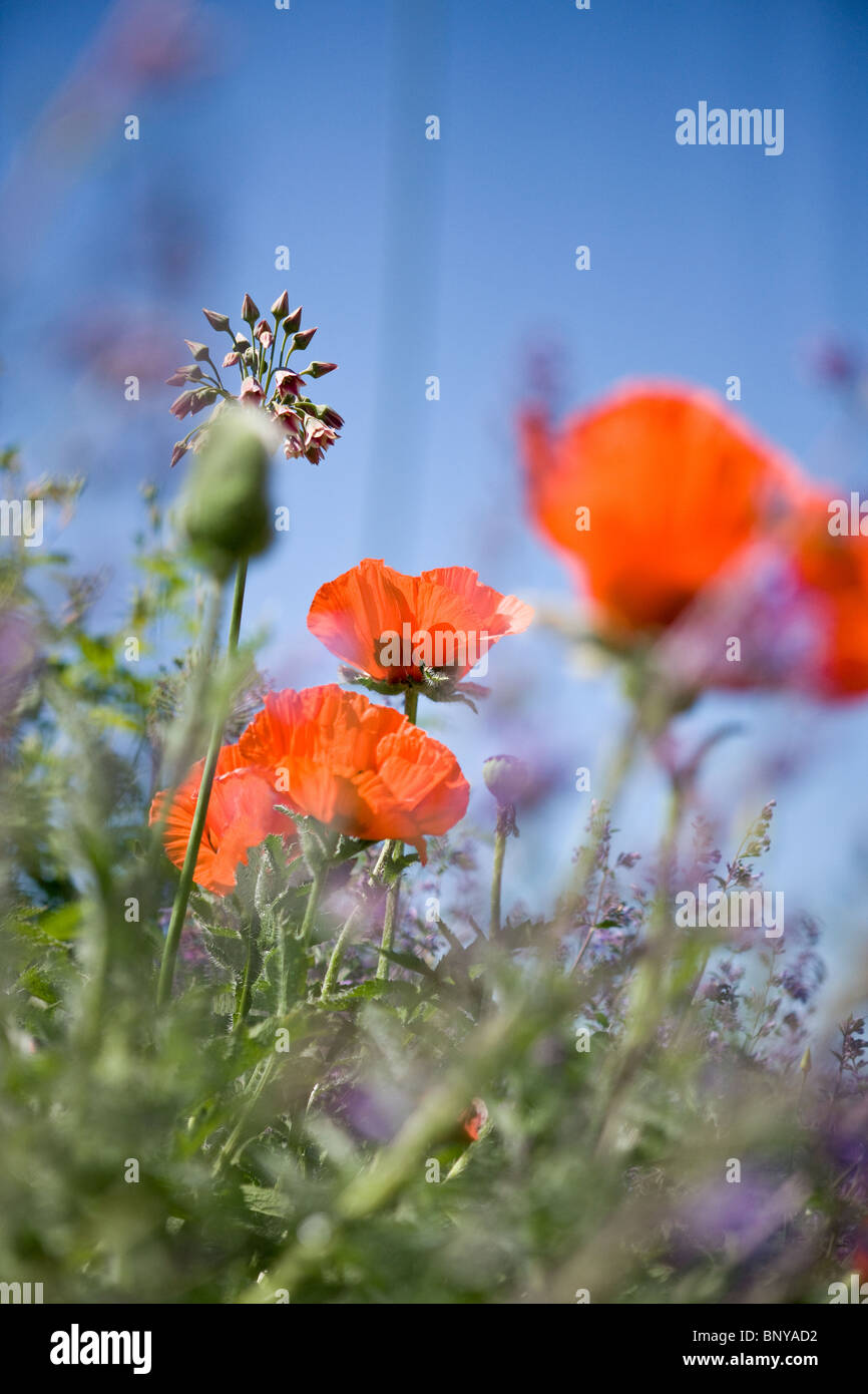 Red oriental poppies amongst other flowers - Stock Image