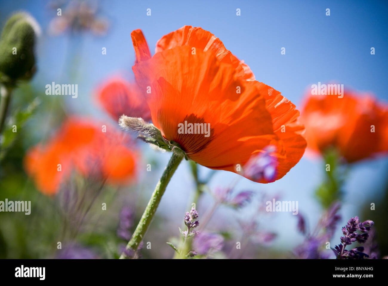 A red oriental poppy flower amongst lavender - Stock Image