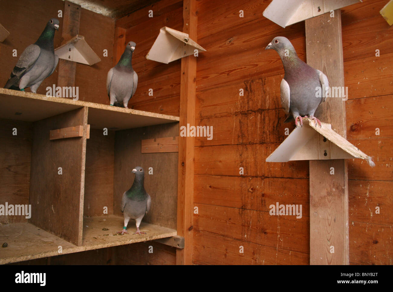 Racing pigeons in their loft, Rutland, UK - Stock Image