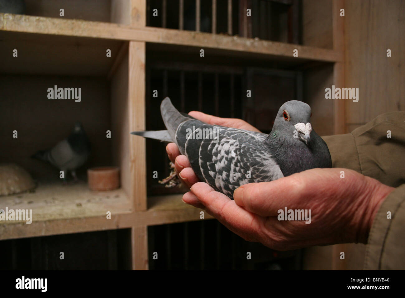Racing pigeon being handled in loft, Rutland, UK - Stock Image