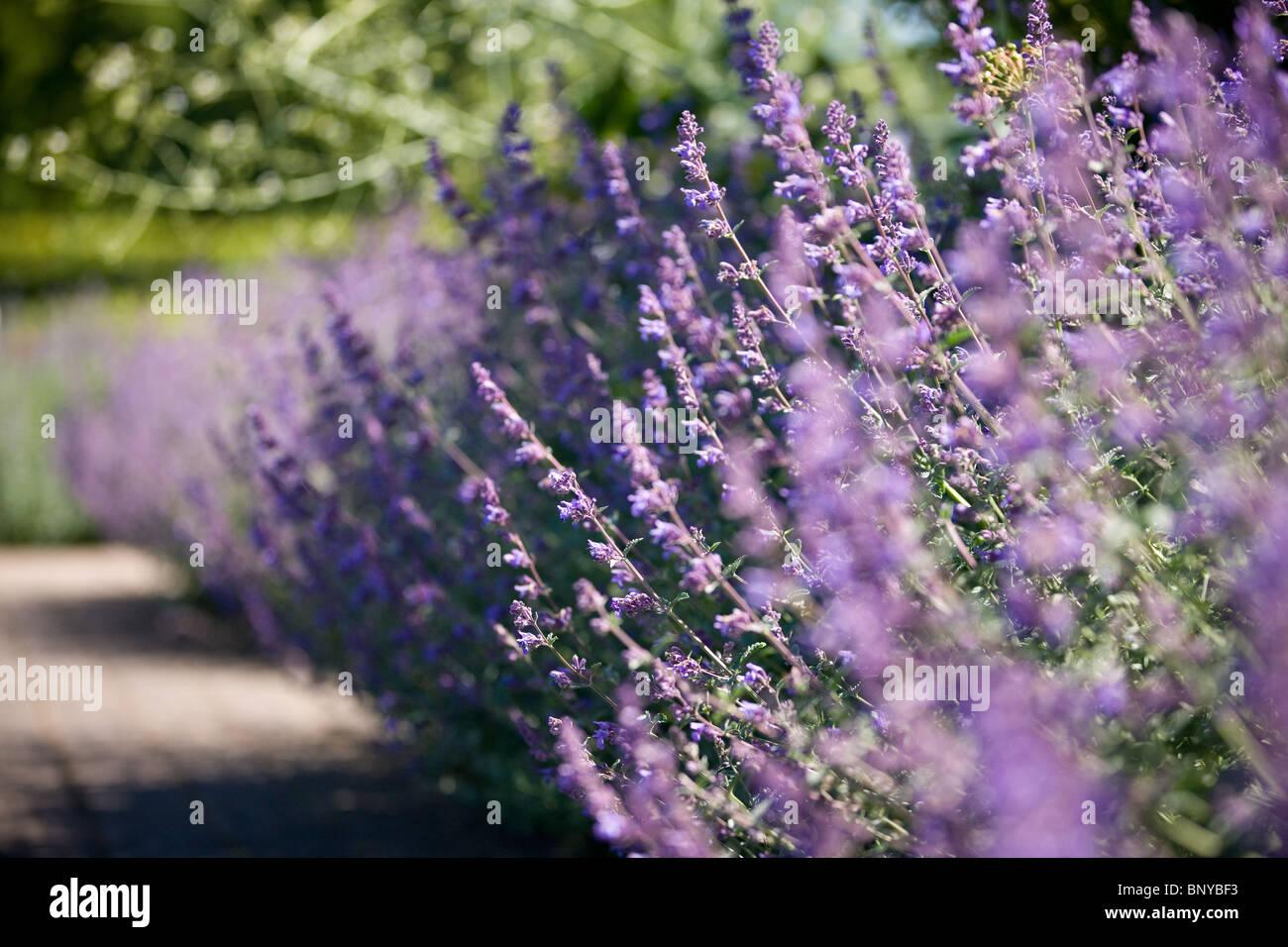 Lavender in flower in summertime - Stock Image