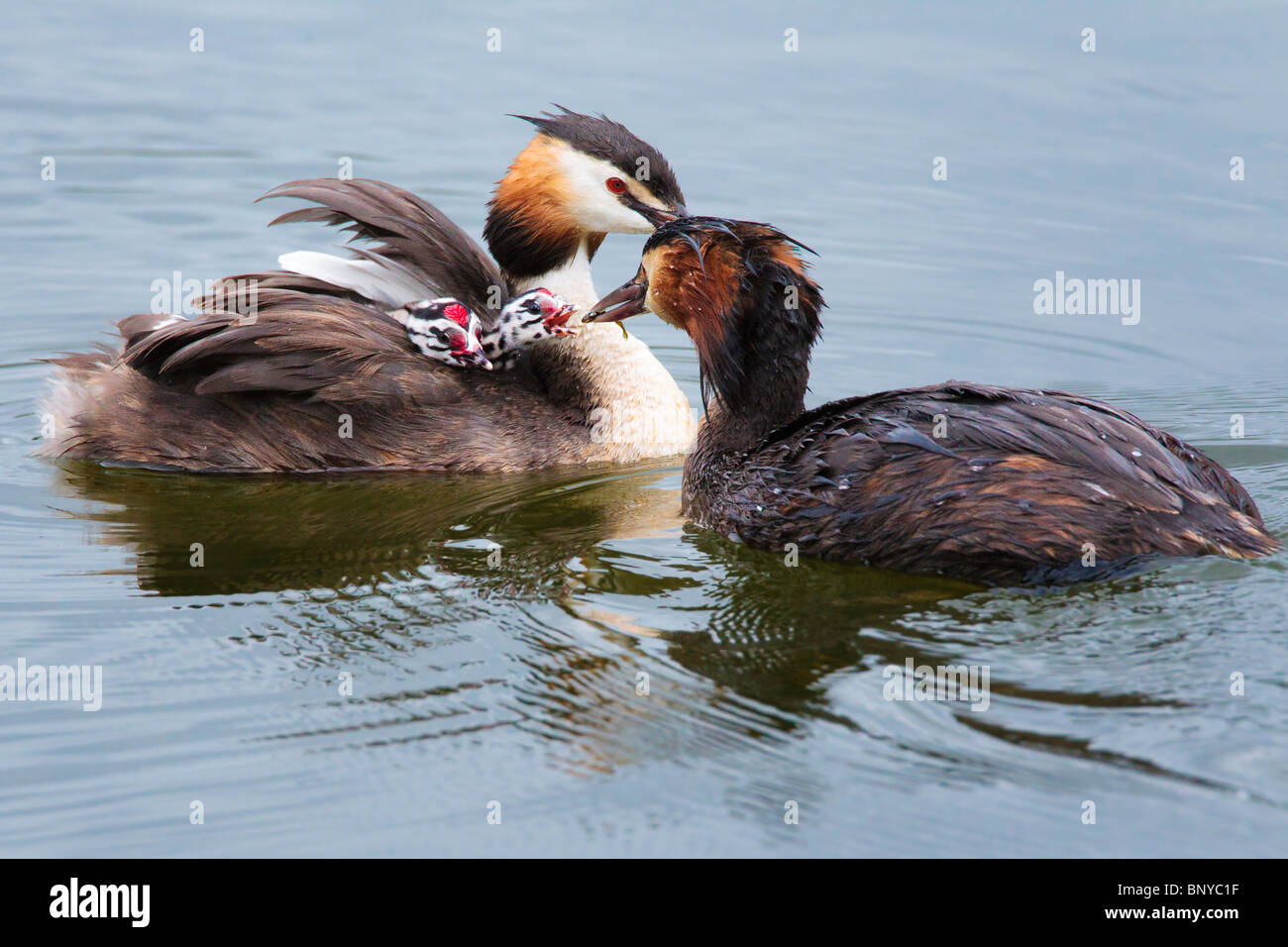Great Crested Grebes feeding their chicks - Stock Image