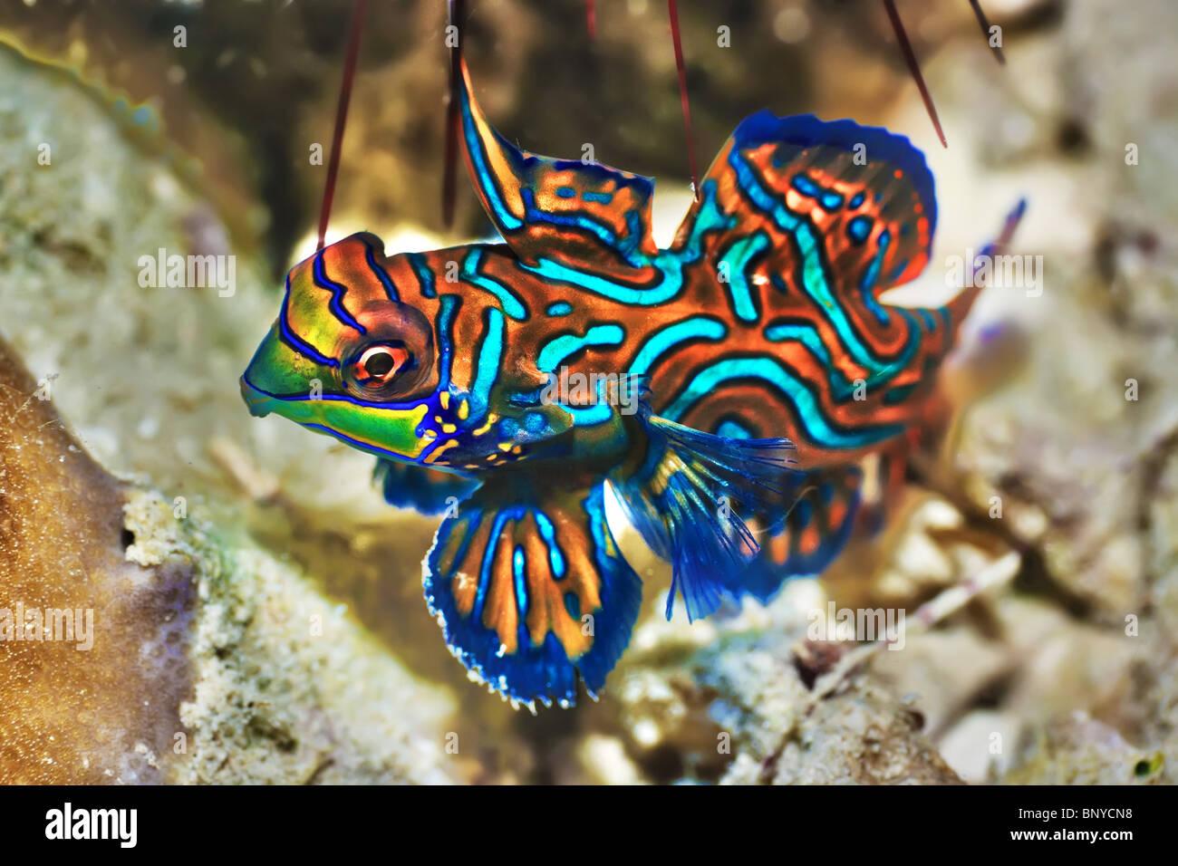 Small tropical fish Mandarinfish close-up. Sipadan ...