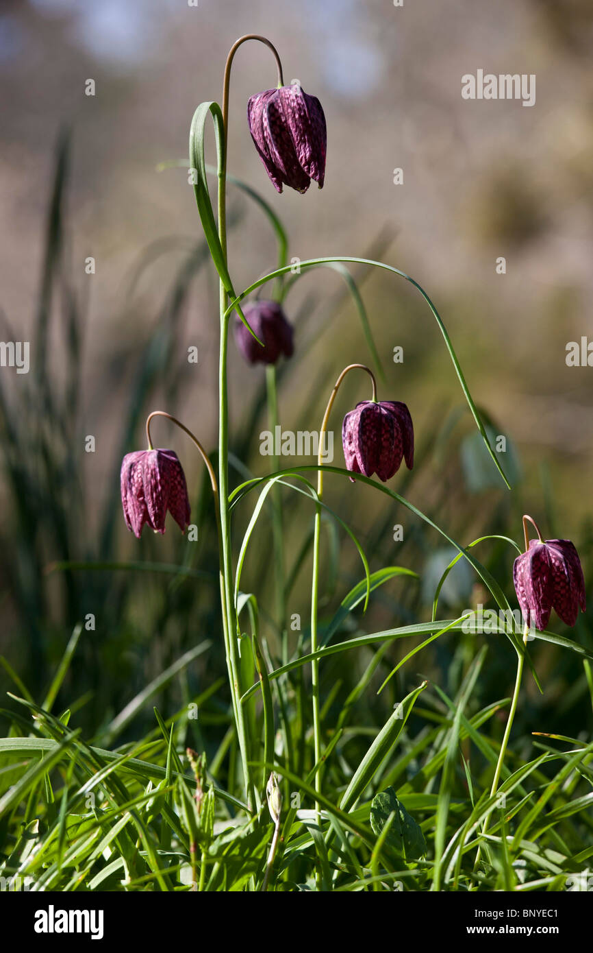 Purple Snakeshead Fritillary Native Perennial Spring Flowers In