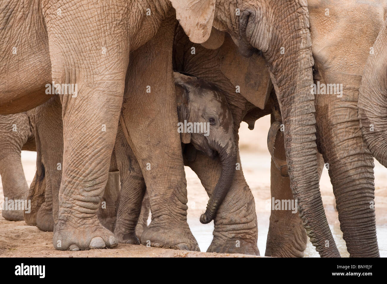 Baby elephant, Loxodonta africana, with maternal group, Addo Elephant National Park, Eastern Cape, South Africa - Stock Image